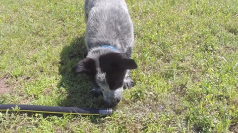 Texas Heeler puppy playing with a water hose