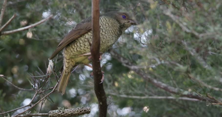 female sating bower bird