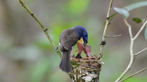 Parents of Black-naped monarch, the beautiful blue birds feeding their chicks while in the nest, the beautiful blue birds play their role as fatherhood and motherhood