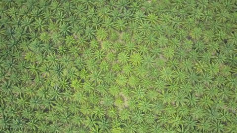 AERIAL, TOP DOWN: Endless lush palm tree plantation spreads across picturesque green landscape. Breathtaking flying shot of fluttering treetops of countless palms creating a beautiful natural pattern.