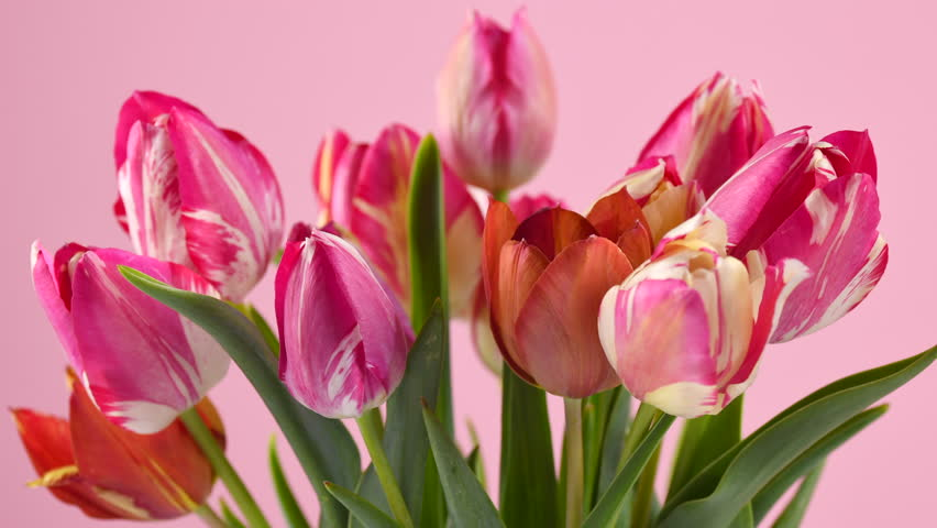 Tulips. Timelapse of bright pink striped colorful tulips flower blooming on pink background. Time lapse tulip bunch of spring flowers opening, close-up. Holiday bouquet. 4K UHD video