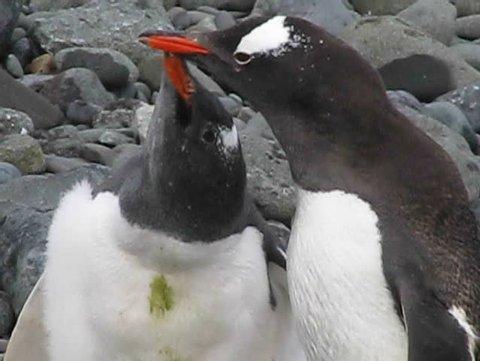 Antarctica : Feeding young gentoo penguin