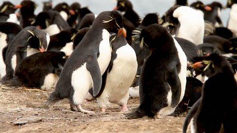 Two Rock Hopper Penguins building a nest. Shot in the Falkland Islands.