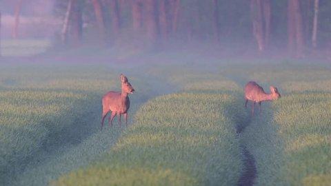 Roe deer females standing in the grainfield at morning, spring, (capreolus capreolus)