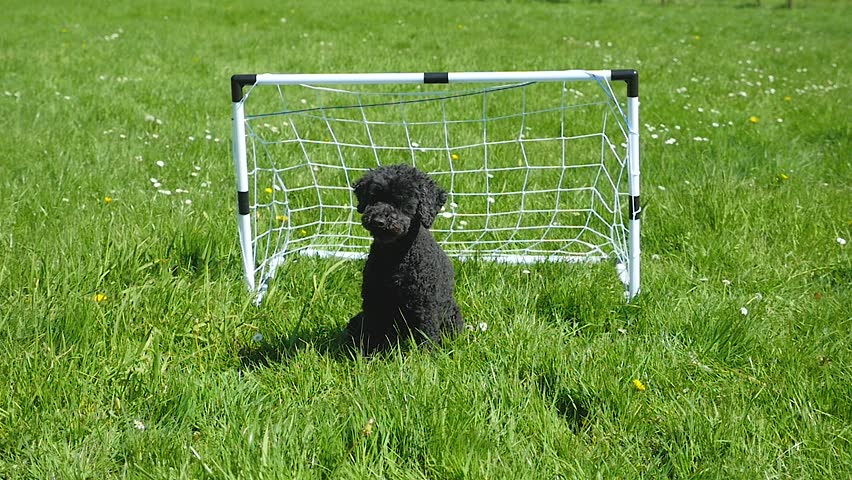 Funny dog stands in football goal and catches the ball, 2 times, cut together, slow motion