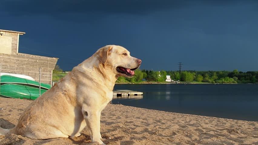 Yellow golden Labrador retriever dog at beach | Shutterstock HD Video #1010699387