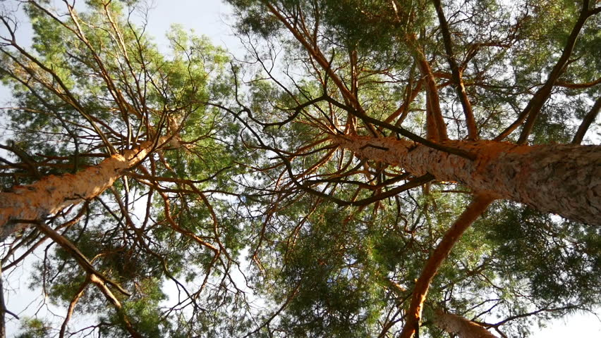 Pine forest. A view from below on the crowns of trees.