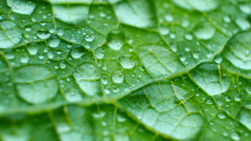 Waterproof leaf texture close-up. Big water drops. Rainproof physics in nature. Plant's vessels and sharp needles #1010766917