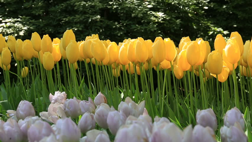 tulips sway in the wind