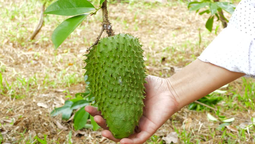 Soursop or Guanabana (Annona muricata) fruit on tree in tropical garden