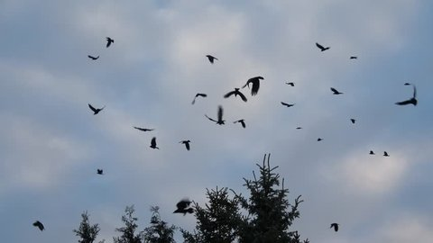 Swarm of crows on the tree and in the air, Corvus corone, Germany
