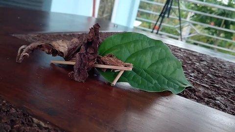 Bagworm moth feeding on a leaf in time lapse