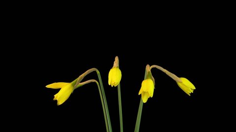 Yellow Flowers of Narcissus blossom