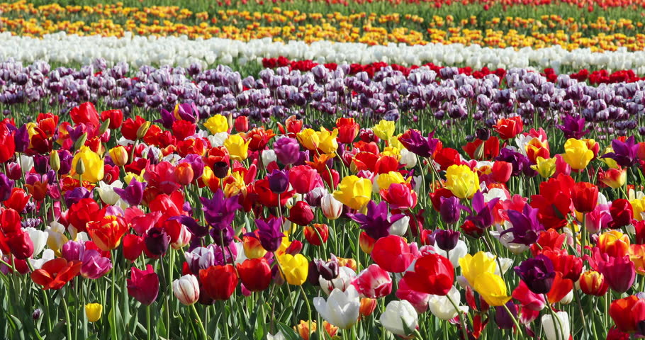 A couple walks through of an abundance and variety of colorful tulips rows  in the farm field swaying in the wind during the Tulip Festival in spring.