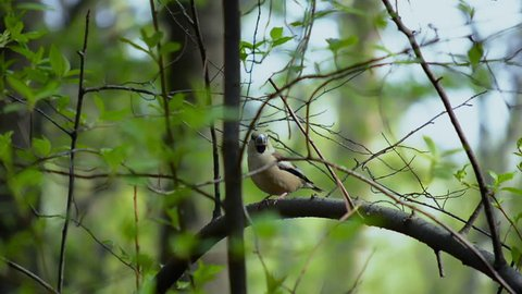 The hawfinch (Coccothraustes coccothraustes) sits on a branch among the leaves and twists his head with a large beak