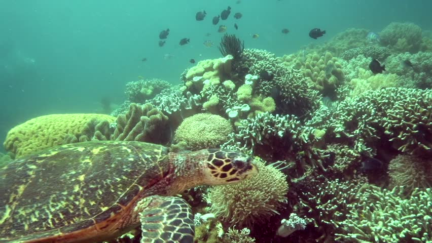 Hawksbill turtle (Eretmochelys imbricata) in coral on Apo island Philippines