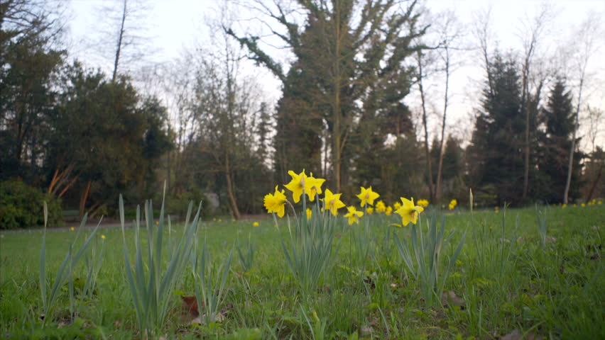 Yellow narcissus flowers grow on green grass
