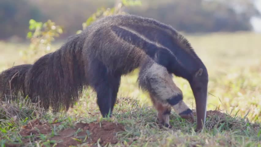 anteater walking and looking for food at the brazilian cerrado, Goias state, Brazil.