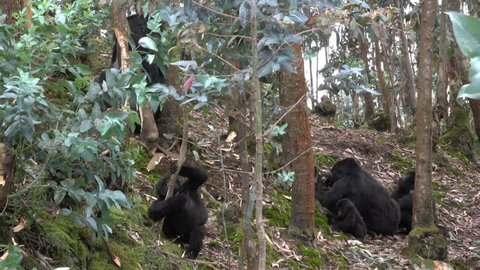 Mountain gorilla, Silverback and Family outside the park in Rwanda. Mountain gorilla loves bamboo shoots, twice a year they leave the park and come close to the farmland. Rwanda, Africa