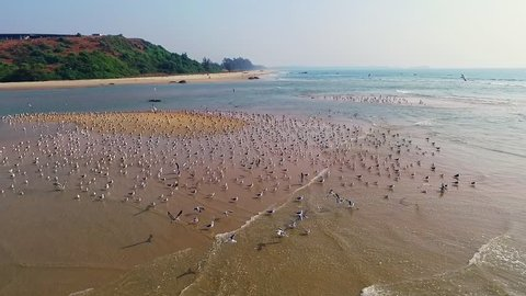 A flock of seagulls sitting on the beach on sunny day. Aerial video shooting with quadrocopter, dron. Slow-motion.