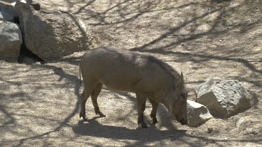 African warthog family in the wildlife - Africa. African warthog walking.