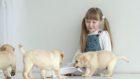 Labrador puppies are pulled by the laces of a girl
