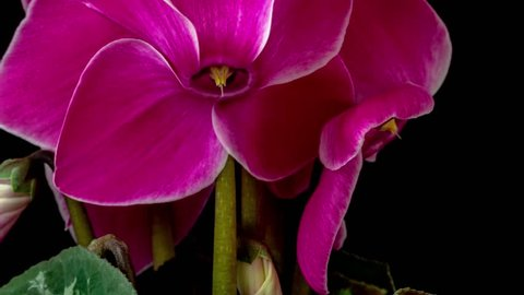 4k moving and rotating macro time lapse video of a cyclamen ornamental flower growing, blooming and blossoming on a dark background/Cyclamen flower blossom time lapse