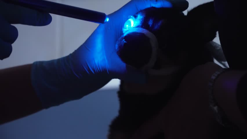 Veterinarian ophthalmologist checks the eyes of a dog, biomicroscopy. Biomicroscopy of the eye is method of examining the eye environments with the help of slit lamp. Veterinarian doing medical #1011201527
