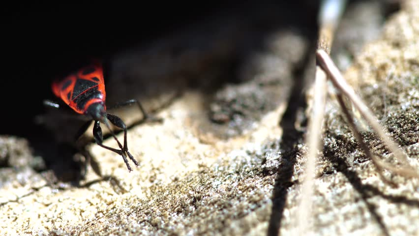 close up of red soldier beetle