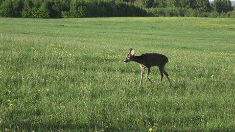 Roe deer in grass, Capreolus capreolus. Wild roe deer in spring nature.