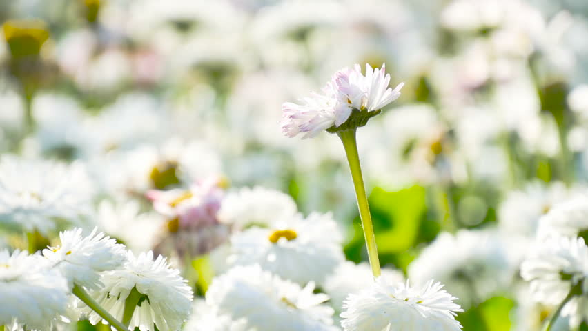 White flowers on flowerbed in sunlights. Marguerite or daisy blooming in spring at city park