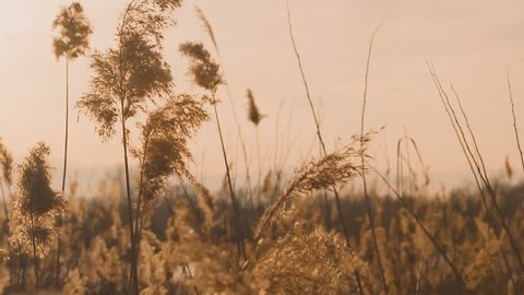 SLOW MOTION. Reed swaying in the wind before sunset. Pink sunset over lake with reeds.
