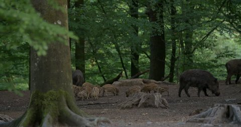 Group of wild boars with young piglets finding food in a forest in Belgium