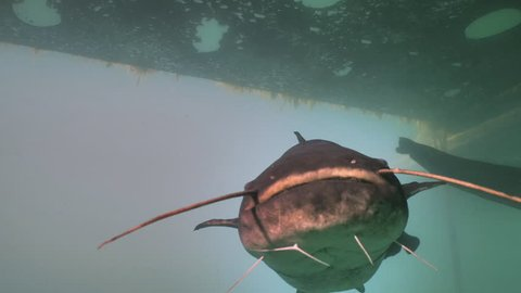 Close encounter with Wels Catfish underwater