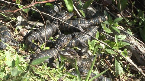 Alligator Young Family Resting in Florida