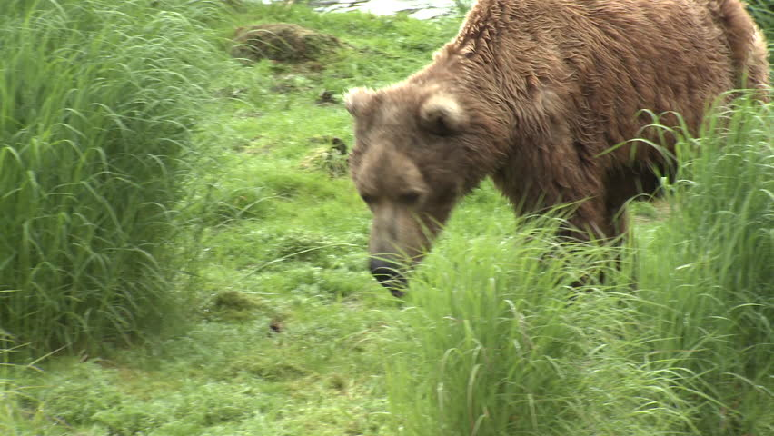 Brown Bear Old Lone Walking in Summer in Alaska