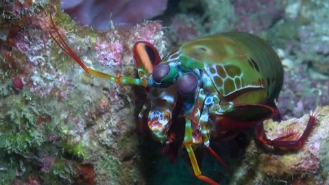 Peacock Mantis Shrimp (Odontodactylus scyllarus) - Close Up - Philippines