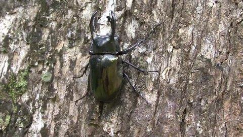 Rhinoceros Beetle male move slowly on big lowland rainforest tree trunk close up