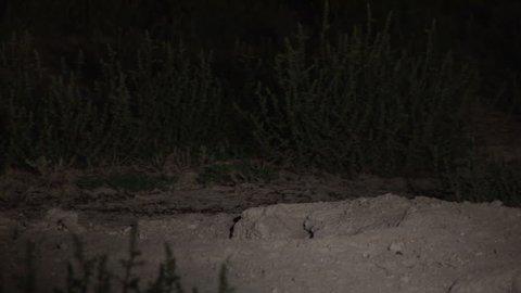 Badger Adult Lone Digging in Summer Emerging Hole Den in South Dakota