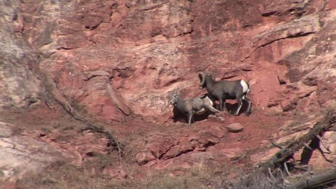 Bighorn Sheep Ram Ewe Male Female Adult Pair Mating Sex Reproduction Copulation in Fall in South Dakota