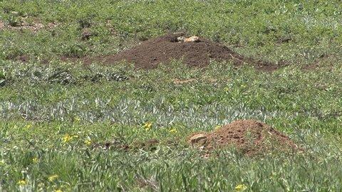 Badger Adult Lone Hunting Foraging in Summer Digging Burrow Predator Prey Alarm Call in South Dakota