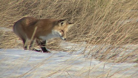 Red Fox Adult Lone Hunting Foraging in Fall Pouncing Leaping Jumping Snow Mice Vole in South Dakota