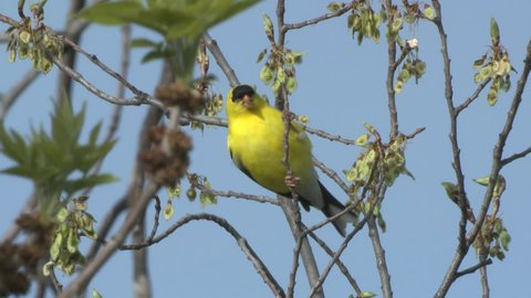 Goldfinch Male Adult Lone Eating in Spring Buds in South Dakota