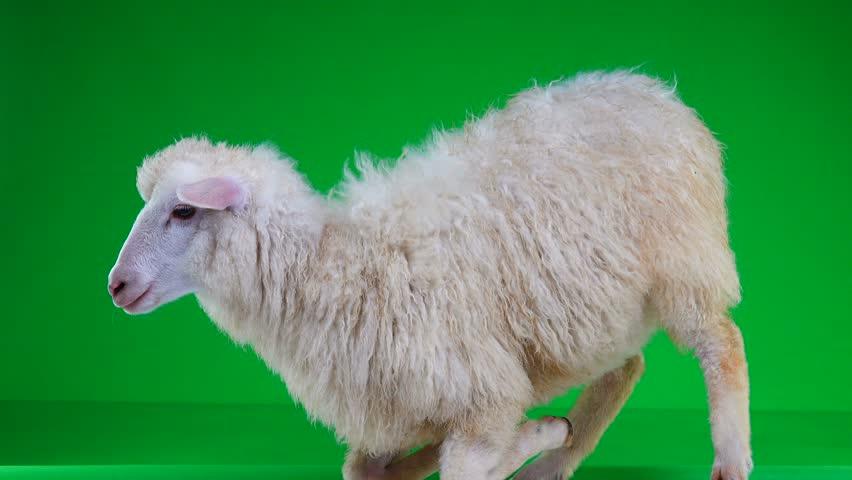 Sheep on her lap on a green screen   Shutterstock HD Video #1011465407