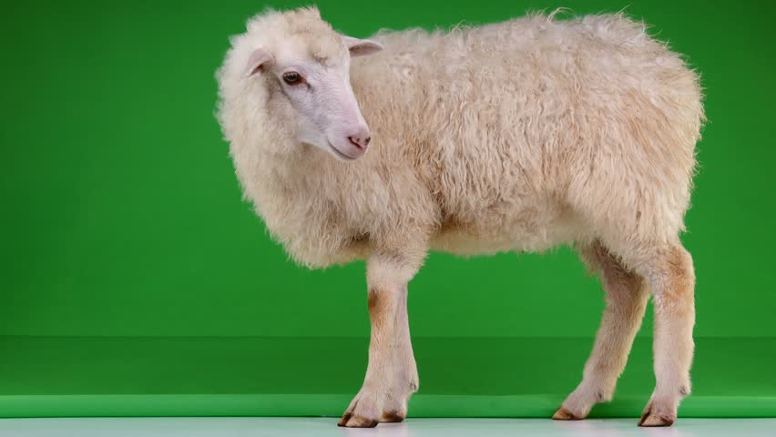 sheep stand on the green screen   Shutterstock HD Video #1011465437