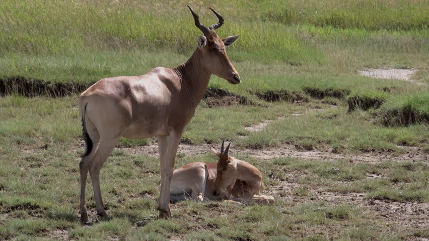 Antelopes, Thomson Gazelle herd with young Baby, Serengeti, Tanzania   Shutterstock HD Video #1011468977