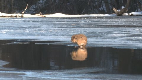 Muskrat Adult Lone Grooming Cleaning Rubbing in Winter Hole Open Water in South Dakota