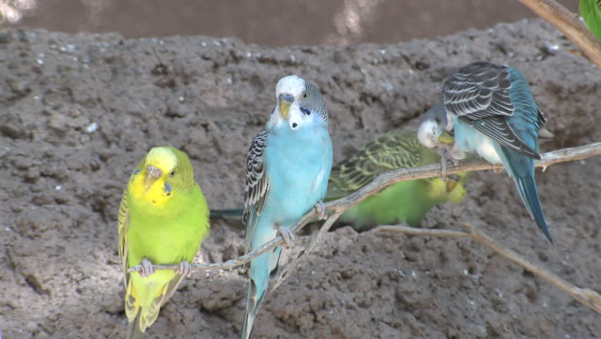 Budgerigar Several Perched Looking Around Colorful   Shutterstock HD Video #1011480677