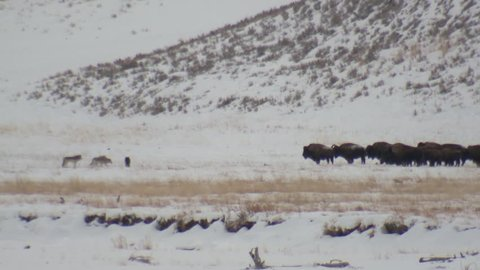 Wolf Pack Several Wolves Hunting Testing Probing in Winter Predator Prey Buffalo Herd in Wyoming