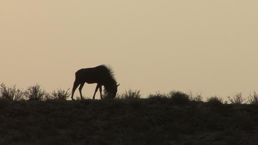 Blue Wildebeest Adult Lone Eating Grazing Dry Season Ridgeline Skyline Hill Silhouette in South Africa   Shutterstock HD Video #1011490697